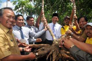 Pusat Agrowisata Pekanbaru, Ada Singkong Raksasa di Palas