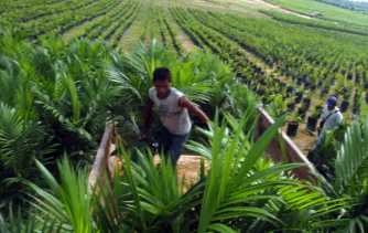 Padi Berganti Sawit, Riau Kekurangan 415.000 Ton Beras Per Tahun