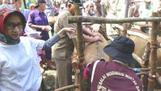 2000 Sapi di Bengkulu Wajib Bunting dan Diasuransikan
