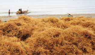 Pelaku Industri Pengolahan Rumput Laut Masih Minim
