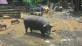 Ternak Babi Secara Bebas, Warga Desa Tasik Serai Mulai Resah