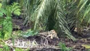 Penelitian: Harimau Itu Mahkhluk yang Sensitif