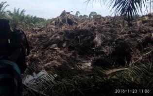 PT Japfa Timbun Anak Sungai Dengan Ribuan Batang Pohon Kelapa Sawit, Ribuan Ikan Warga Terapung