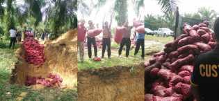 KPPBC Pekanbaru Musnahkan 3550 Karung Bawang Merah Seludupan, Ini Trik Mafianya