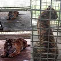 Berada di Pusat Rehabilitasi Harimau Sumatera Dharmasraya, Begini Kondisi Terkini Bonita