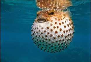 Dugaan Kematian Kim Jong-nam Dibunuh Pakai Racun Ikan Fugu