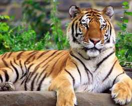 Bengkulu Akan Bangun Klinik Pengobatan Harimau Sumatera