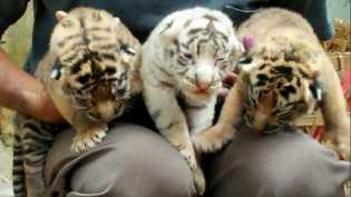 Hendak Foto, Anak Harimau Terkam Murid TK di Museum Satwa Jatim