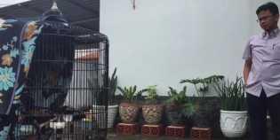 Ditawar Rp.600 Juta Oleh Jokowi, Dede Tak Mau Lepas Burung Kesayangannya
