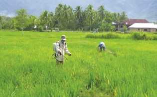 Petani di Tabanan Keluarkan Biaya Ekstra Atasi Hama Tungro