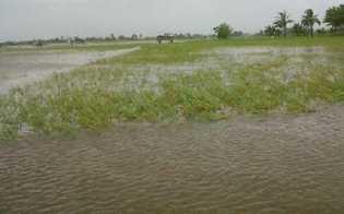 Terendam Banjir, 600 Hektar Padi di Kuansing Terancam Gagal Panen