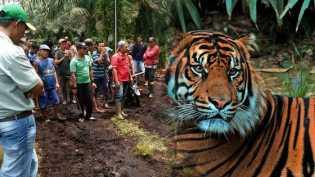 Tak Seperti Harimau Sumatra Lainnya, Inilah Perilaku Aneh Bonita