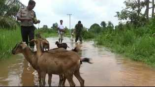 Akibat Banjir Luapan Sungai Kampar Ratusan Ternak Mati
