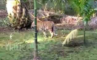 Heboh, Jejak Harimau dan Sapi yang Diduga Diterkam di Pelalawan