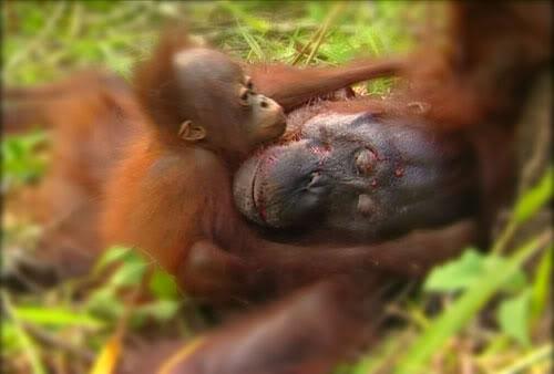 Menteri LHK Selidiki Kasus Pembantaian Orangutan di Kalteng