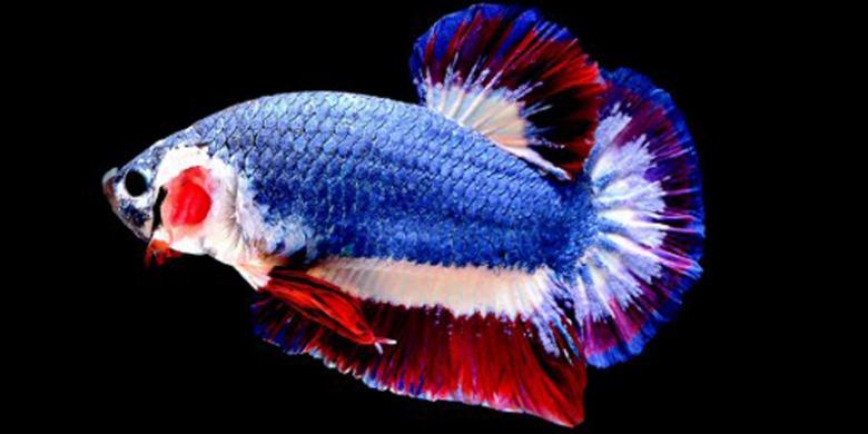 Warnanya Mirip Bendera Thailand, Ikan Cupang Ini Dihargai Rp 20 Juta